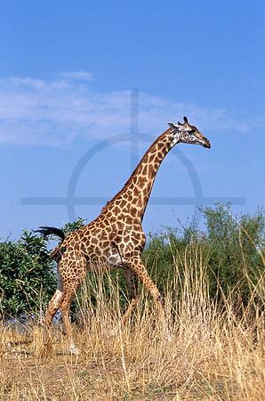 Masai giraffe, South Luangwa National Park, Zambia