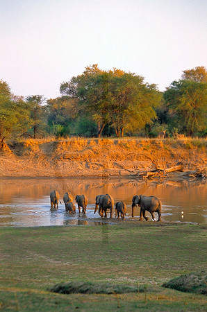 Herd of elephants crossing the Luangwa River, South Luangwa National Park, Zambia