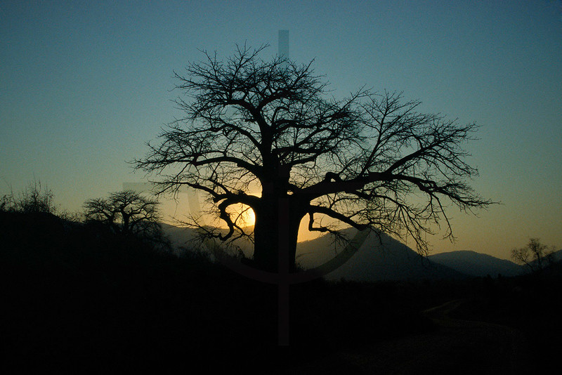 Baobab tree at sunset, near Monkey Bay, Malawi