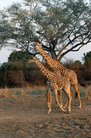 Pair of Masai giraffe, South Luangwa National Park, Zambia