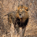 Lion, Kruger National Park, South Africa
