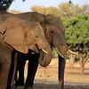 Elephants feeding, South Luangwa National Park, Zambia