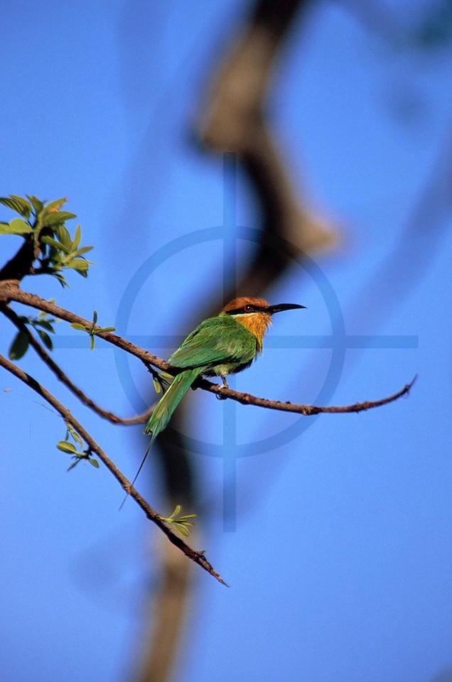 Böhm's bee-eater, Liwonde National Park, Malawi