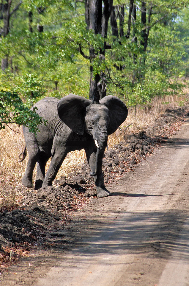 Juvenile elephant about to cross the road, Liwonde National Park, Malawi