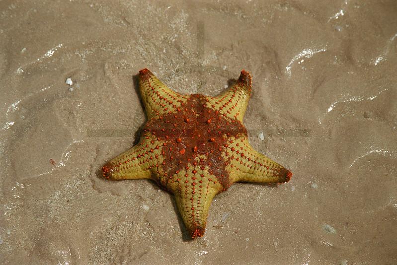Starfish on a tidal sand bank, Bazaruto Archipelago, Mozambique