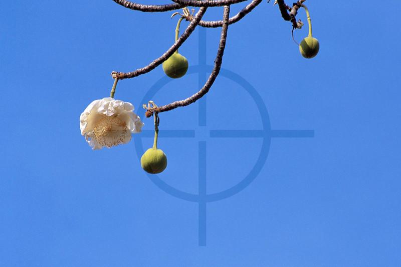 Baobab flower, near Monkey Bay, Malawi
