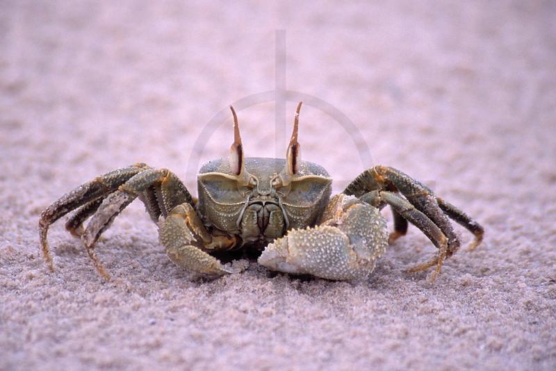 Crab on beach, Benguerra Island, Bazaruto Archipelago, Mozambique