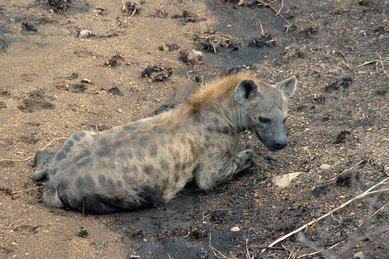 Spotted hyena at rest in a ditch, Kruger National Park, South Africa
