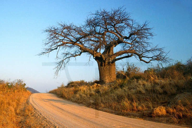 Baobab tree in the dry season at sunrise, road to Monkey Bay, Malawi