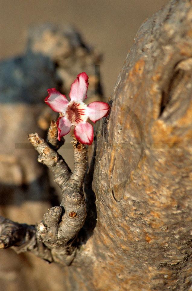 Desert rose, Liwonde National Park, Malawi