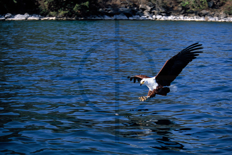 African fish eagle targeting prey, Lake Malawi, Malawi
