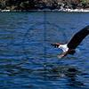 African fish eagle targeting prey, Lake Malawi, Malawi