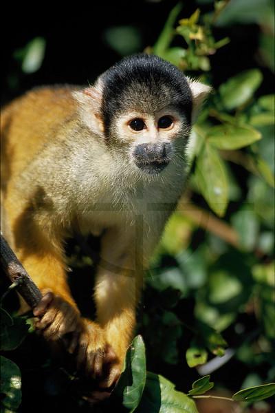 Black-capped squirrel monkey, Amazon Basin near Rurrenabaque, Bolivia