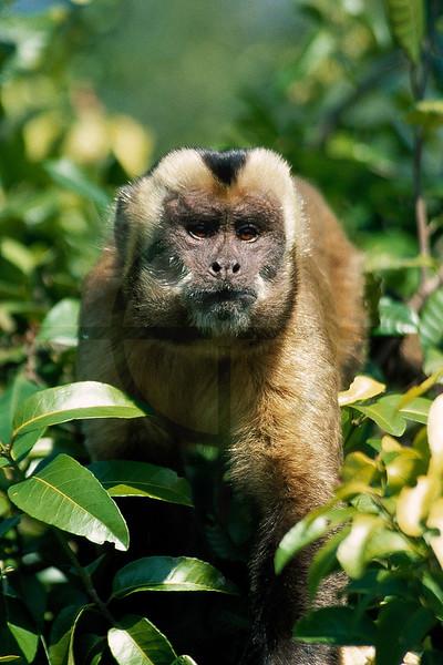 Brown capuchin monkey, Yacuma River, Bolivia