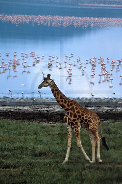 Adolescent Rothschild's giraffe and flamingos, shore of Lake Nakuru, Nakuru National Park, Kenya
