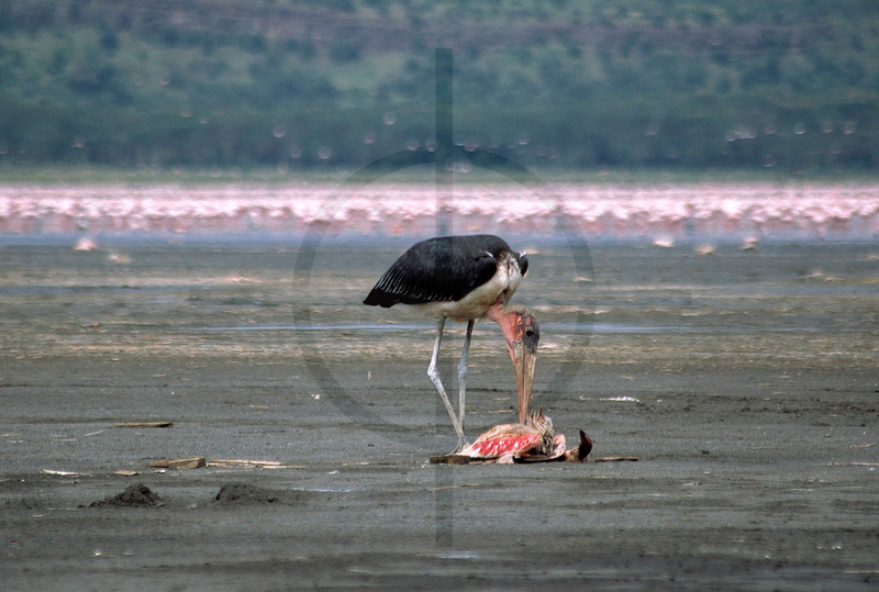 The undertaker at work: marabou stork feeding on a dead flamingo, shore of Lake Nakuru, Lake Nakuru National Park, Kenya