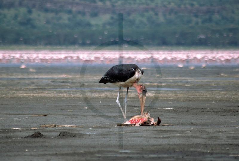 The undertaker at work: marabou stork feeding on a dead flamingo, shore of Lake Nakuru, Lake Nakuru National Park, Kenya