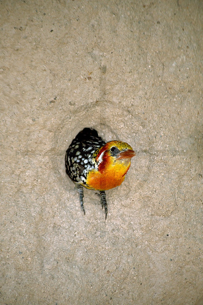Red-and-yellow barbet leaving its nest, Lake Baringo area, Kenya