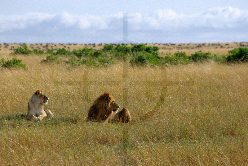 Common ground: pair of lion facing the same direction, Masai Mara National Reserve, Kenya