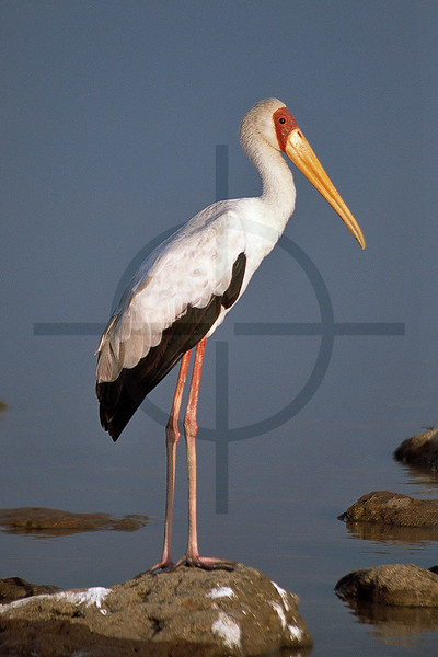 Yellow-billed stork; Lake Baringo, Kenya