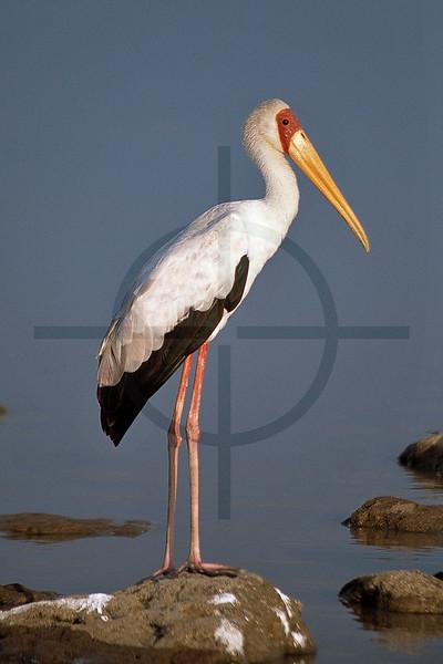 Yellow-billed stork; Lake Baringo, Kenya