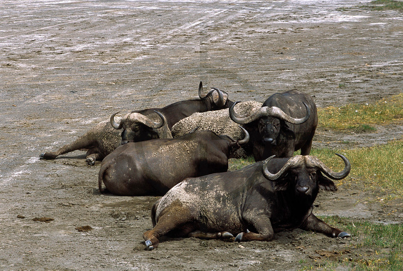 Buffaloes at rest, shore of Lake Nakuru, Nakuru National Park, Kenya