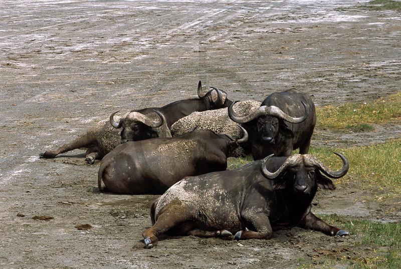Buffaloes at rest, shore of Lake Nakuru, Nakuru National Park, Kenya