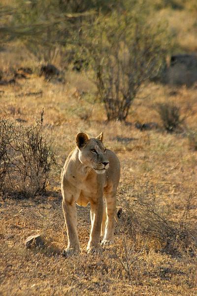 Lioness, Samburu National Reserve, Kenya