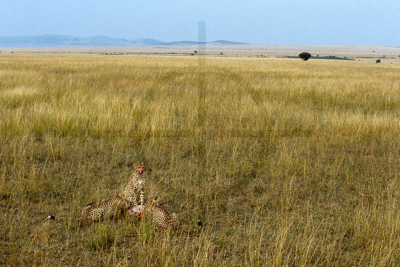 Cheetahs feeding on prey, Masai Mara National Reserve, Kenya