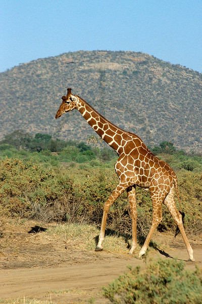 Reticulated giraffe, Samburu National Reserve, Kenya