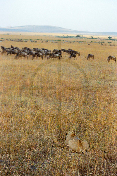 The hunt, Masai Mara National Reserve, Kenya