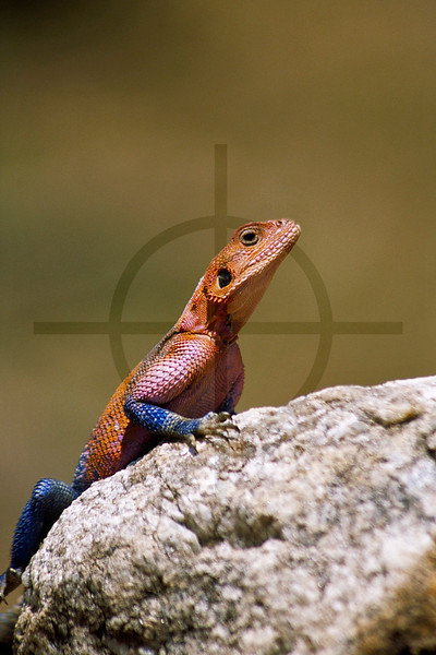 Red-headed rock agama (male), Masai Mara National Reserve, Kenya