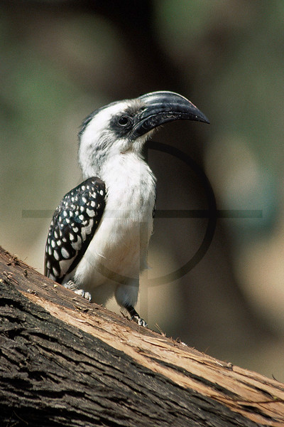 Jackson's hornbill (female), Lake Baringo, Rift Valley, Kenya