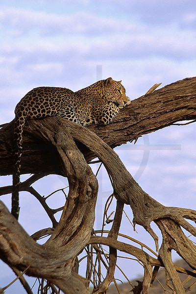 Leopard at rest, Samburu National Reserve, Kenya