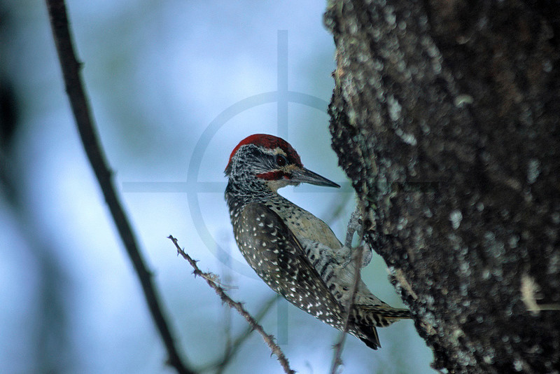 Nubian woodpecker(male), Lake Baringo area, Kenya
