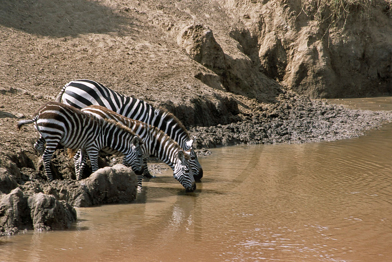 Zebras drinking from a river, Masai Mara National Reserve, Kenya