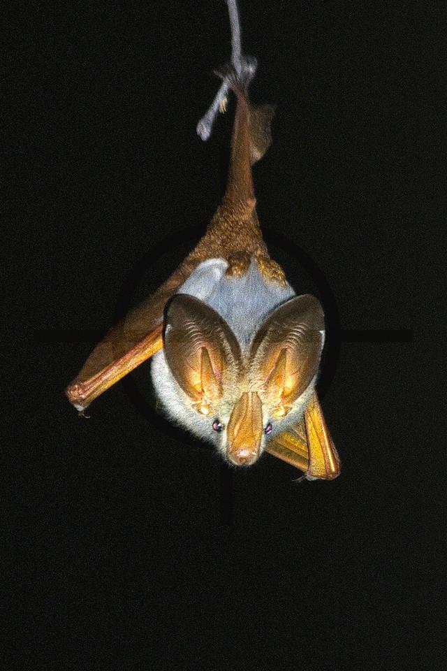 Yellow-winged bat, Kenya