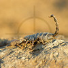 Scorpion, Lake Baringo area, Kenya