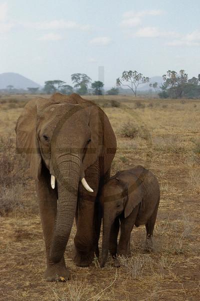 Elephant mother and child, Samburu National Reserve, Kenya