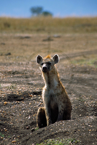 Spotted hyena, Masai Mara National Reserve, Kenya