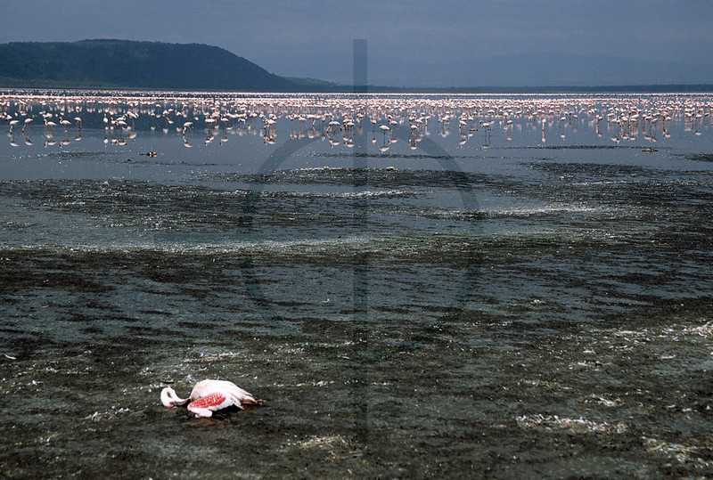 Corpse of a greater flamingo, shore of Lake Nakuru, Lake Nakuru National Park, Kenya