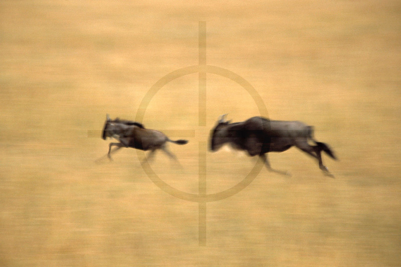 Picture speed, an African impression: wildebeest on the run, Masai Mara National Reserve, Kenya