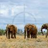Herd of elephants, Tsavo East National Park, Kenya