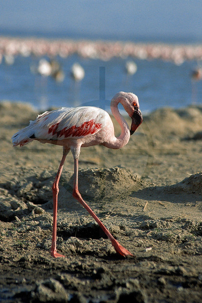 Greater flamingo, shore of Lake Nakuru, Lake Nakuru National Park, Kenya