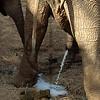 African bull elephant defecating, Samburu National Reserve, Kenya