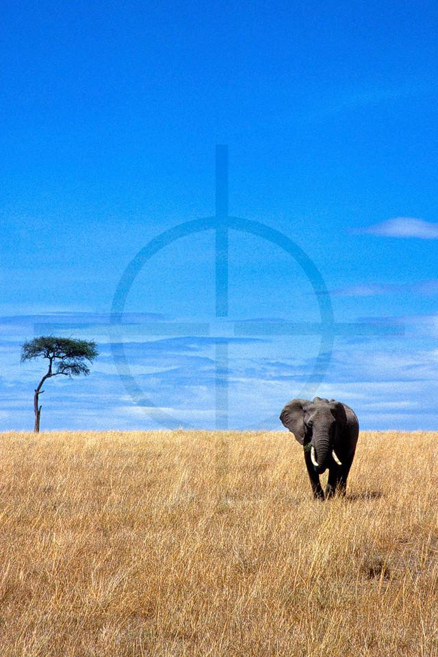 African elephant on the open savanna, Masai Mara National Reserve, Kenya