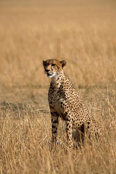 Watchful cheetah, Masai Mara National Reserve, Kenya