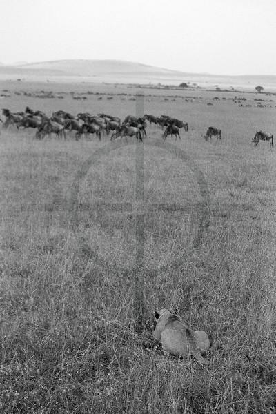The hunt, Masai Mara National Reserve, Kenya