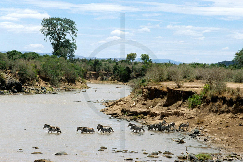 Herd of zebra crossing a river, Masai Mara National Reserve, Kenya