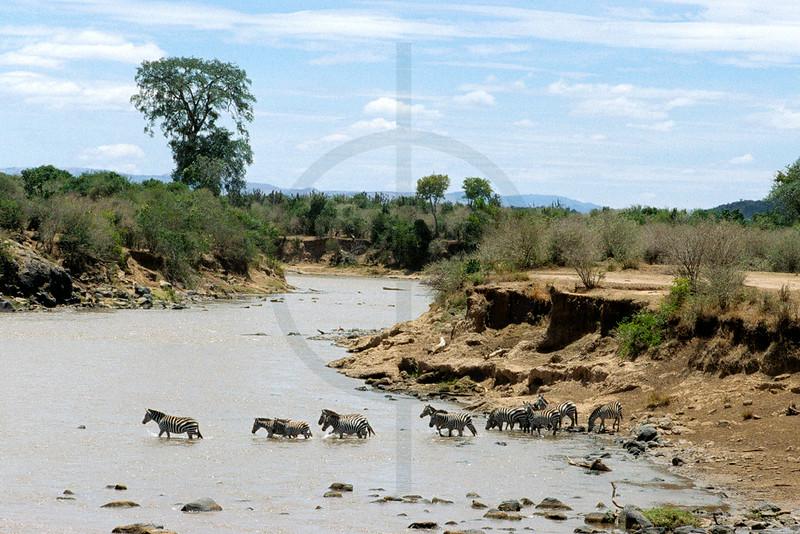 Herd of zebra crossing a river, Masai Mara National Reserve, Kenya